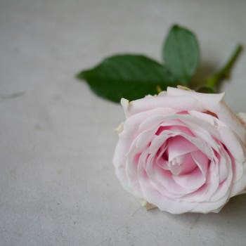 minimalist style rose photo